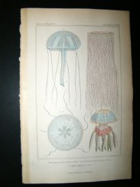 Cuvier C1835 Antique Hand Col Print. Sealife #16 Jellyfish